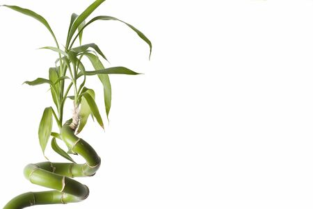 Bamboo plant on a white background. photo