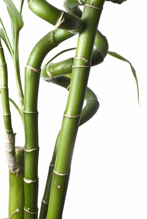 Bamboo plants on a white background. photo