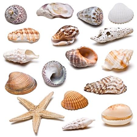 caracolas de mar: Colección de conchas marinas aisladas sobre un fondo blanco.