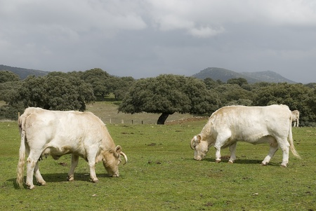Cows grazing peacefully in a meadow. photo