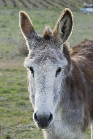 muzzle loading: Donkey in a meadow. Stock Photo