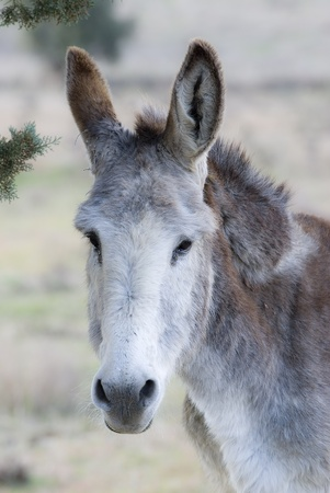 big ass: Donkey in a meadow. Stock Photo