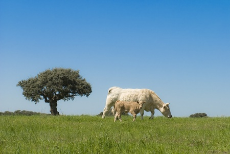 A cow and her calf in a paradisian landscape. photo