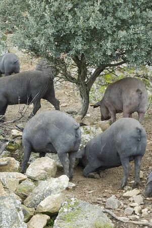 stock breeding: Iberian pigs in their natural environment. Stock Photo