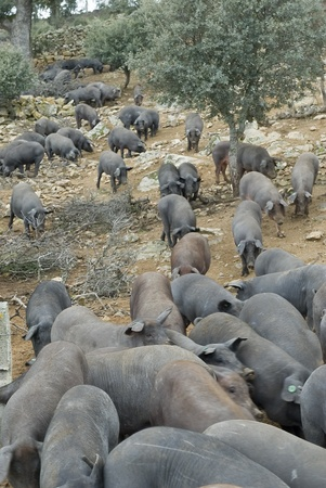jambon: Iberian pigs in their natural environment. Stock Photo