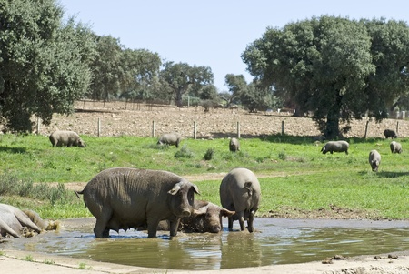 reproduction animal: Iberian pigs in their natural environment. Stock Photo