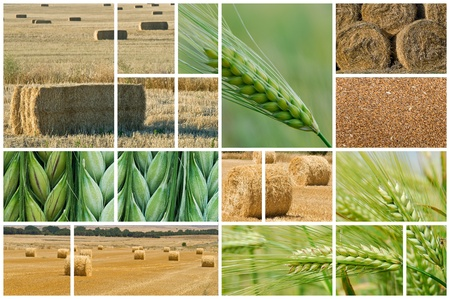 oat plant: Collage made of photos about agriculture. Stock Photo