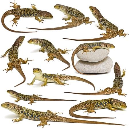 lagarto: Conjunto de lagartos aislados en un fondo blanco.