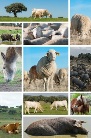 Collage about livestock with different animals  Stock Photo - 12946095