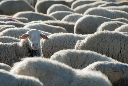 mouton noir: Le p�turage des moutons dans le domaine dans une journ�e ensoleill�e Banque d'images