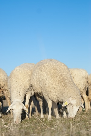 Sheep grazing in the field in a sunny day