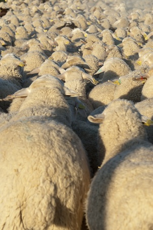 Sheep grazing in the field in a sunny day  photo