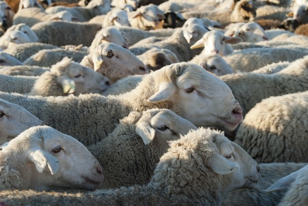 ovine: Sheep grazing in the field in a sunny day