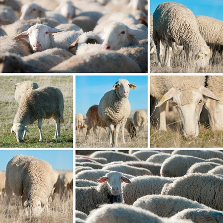 Collage made of pictures of sheep in the field. photo