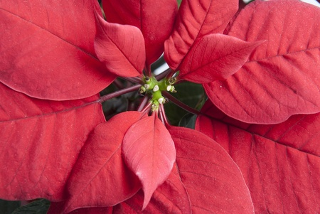 Closeup of the typical red leaves of a poinsettia. photo