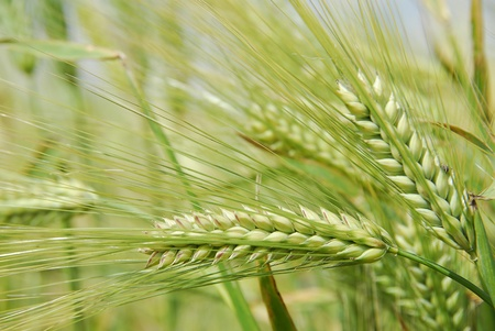 agronomy: Beautiful fresh and green barley growing in the field. Stock Photo