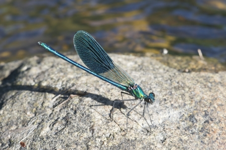 Blue damselfly on a stone in a river photo