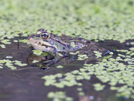 part frog: Frog in its environment with part of its body out of the water