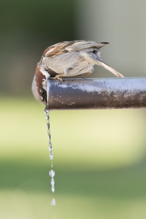 Sparrow drinking fresh water from a fountain tube Standard-Bild