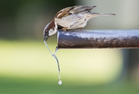 Sparrow drinking fresh water from a fountain tube Stock Photo - 14792732