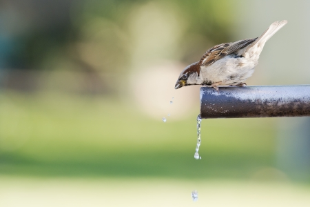 Sparrow drinking fresh water from a fountain tube photo