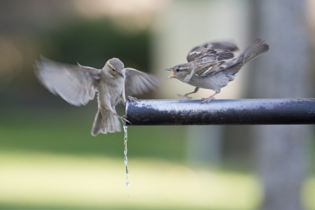 source of iron: A group of sparrows drinking fresh water from a fountain tube  Stock Photo