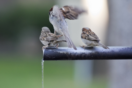 A group of sparrows drinking fresh water from a fountain tube  photo