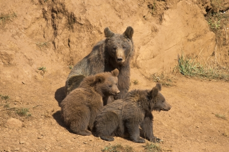 cubs: A brown bear with her three cubs in the wild.
