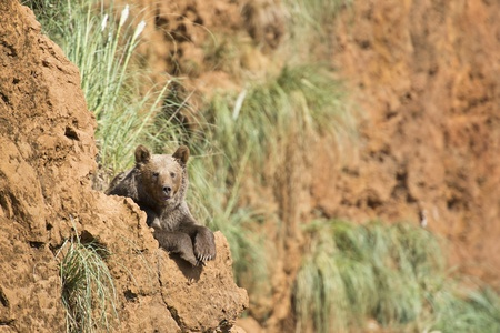 cantabrian: A brown bear climbing a cliff in his natural habitat. Stock Photo