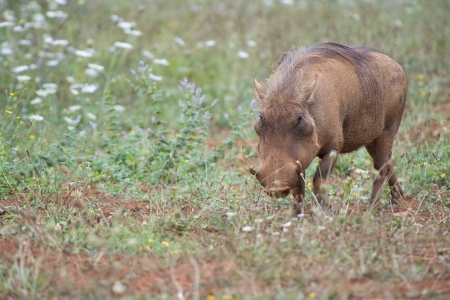 unsightly: Closeup from a warthog gracing in his natural habitat