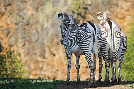 Zebras watching the sunset from a cliff to relax  photo