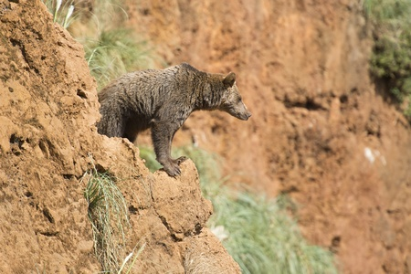 A brown bear climbing a cliff in his natural habitat  photo