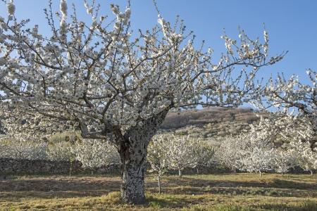 flowering field: Flowering cherry trees in Jerte Valley in Spain
