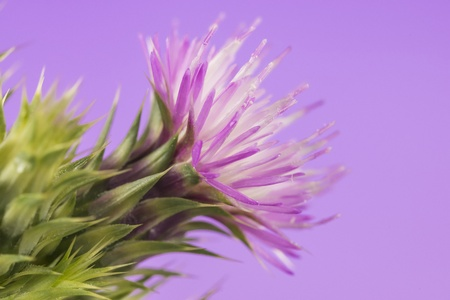 Thistle with purple flower isolated over a studio background photo