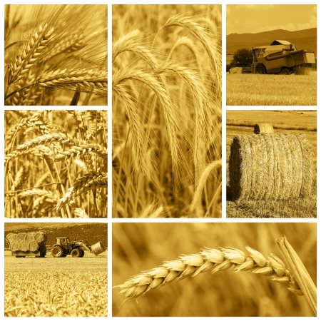 Collage made of pictures about cereal crops and the harvest. 写真素材