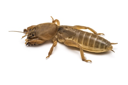 repulsive: A mole cricket isolated on a white background.