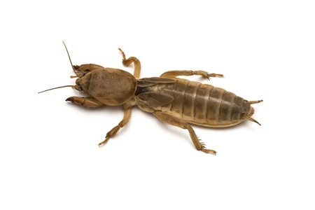 repugnant: A mole cricket isolated on a white background  Stock Photo