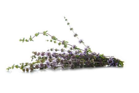 mentha: Penniroyal o PULEGIUM menta hierbas aislados en un fondo blanco