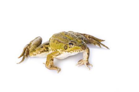 grenouille verte: Grenouille verte vivant isol� sur un fond blanc Banque d'images