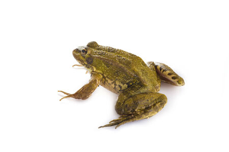 Green frog alive isolated on a white background photo