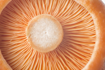 lactarius: Closeup from a saffron milk cap or lactarius deliciosus Stock Photo