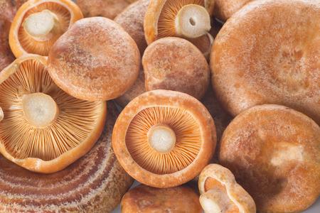 lactarius: Saffron milk caps or lactarius deliciosus showing its texture
