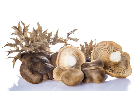Oyster mushrooms and its thistle isolated on a white background photo