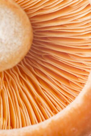 mycology: Closeup from a saffron milk cap or lactarius deliciosus Stock Photo