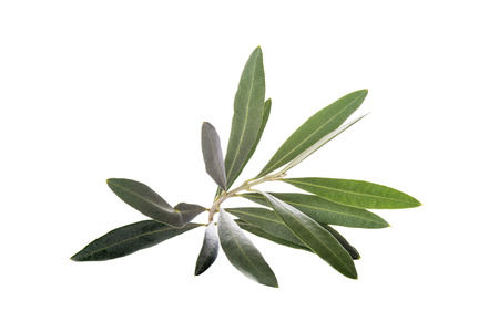 Olive branch with leaves isolated on a white background
