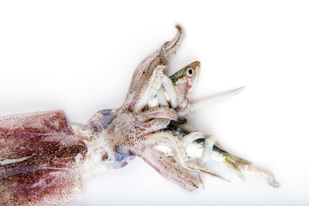 strife: Squid hunting a fish with its tentacles isolated on a white background