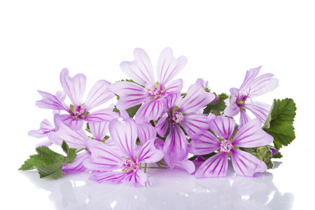Bunch of mallow or malva flowers isolated on a white background