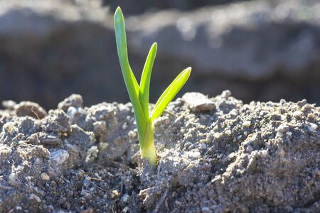 Young garlic sprouts growing in an organic farming crop