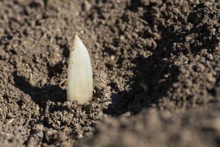Young garlic sprouts growing in an organic farming crop