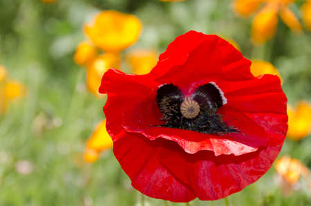 poppy opened as a face